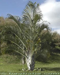 Dypsis decaryi (formerly Neodypsis decaryi), the Triangle Palm