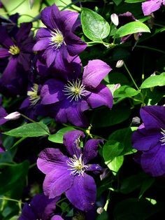 How to grow Clematis vine | Growing Clematis in a container | Care Clematis Plants Perennial Flowering Vines, Clematis Plants, Clematis Vine, Grow Turmeric, New Vines, Fertilizer For Plants, Growing Tree, Growing Irises, House Plant Care