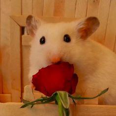 "429 Likes, 17 Comments - @vanillahamham on Instagram: "" . Youtube ➡ VanillaHamHam . #valentine #valentines #ハムスター #ゴールデンハムスター #ゴルハム #キンクマ #キンクマハムスター…"""