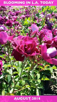 "Here's a rose for all our ""Home & Family"" show fans! Looking forward to all new garden segments in Season 3. Watch our reruns during the summer break period! Shirley Bovshow http://EdenMakers.com http://FoodieGardener.com"