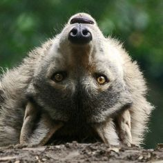 Beautiful wolf! so different photo showing a peaceful curiosity,! great light