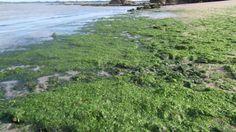 Des algues comme engrais