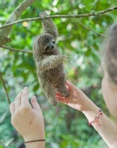 PHOTOS: Paralyzed baby sloth thrives at Costa Rica refugeThe Tico Times - sloth love - Babysafe Baby Animals Pictures, Cute Animal Pictures, Animals And Pets, Animals Images, Wild Animals, Cute Little Animals, Cute Funny Animals, Cute Dogs, Cute Baby Sloths