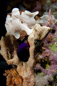 frogfish1i (2) | Flickr - Photo Sharing!