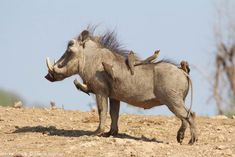 A photo of a warthog taken from the Terrapin Hide at Jaci's Lodges in Madikwe