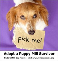 There are hundreds of puppy mill survivors at National Mill Dog Rescue that are ready for their forever homes. Visit our website for more information: www.milldogrescue.org