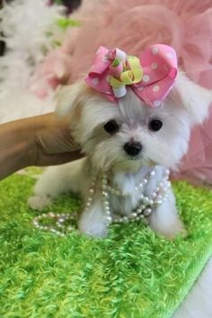 Pearls and a Teacup Maltese.                              …                                                                                                                                                                                 More