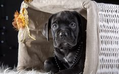 Download wallpapers Cane Corso, black puppy, 4k, small dog, cute animals, pets