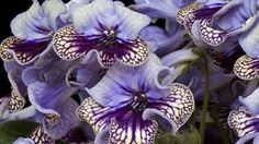 Beautiful Iris- at the RHS Chelsea Flower Show