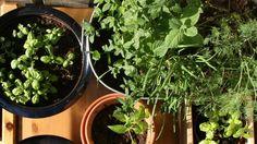 Jardim de ervas orgânico: sem pesticidas – agrotóxicos e sem fertilizantes | SENHORA NATUREZA – Portal de Ervas Medicinais, Especiarias, Plantas Medicinais, Alimentação e Vida Saudável – Orgânicos e Biodinâmicos -
