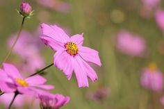 Pink Daisy Flower Selective Photography  Free Stock Photo