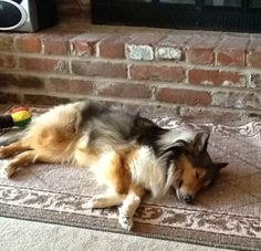Meet Jasmine.Available soonThis precious sheltie girl is 2 1/2 years old and is turning into a real lap pup.  Jasmine came into rescue with two other sheltie pups, that were very underweight.   Jazzy has come to liife in her new foster home and is...
