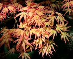 Plant this Japanese maple, called Maho, for its an unusual color combination. See it in person at the Evergreen Arboretum in Everett. #gardening (Photo by Libbie Soden, Evergreen Arboretum & Gardens Foundation)