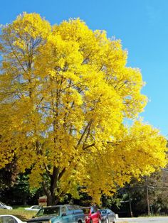 yellow maple....photo by Joy Fussell