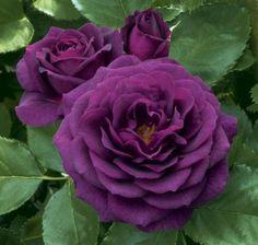 Rosas violetas!!!