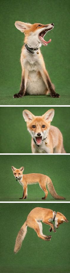Eshu, a rescued orphan red fox kit, had her studio glamor shots made  :-)  She has her own Tumblr where daily antics can be followed.  #Vulpes_vulpes #mytumblr