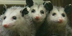 Three Opossums