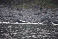 Caught some wild bears on photo during cruise. And there are 2 of them! Bears, Cruise, Mountains, Nature, Travel, Naturaleza, Viajes, Cruises, Destinations