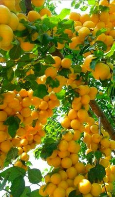 in paradise All Fruits, Healthy Fruits, Fruits And Vegetables, Fruit Plants, Fruit Garden, Fruit Trees, Colorful Fruit, Tropical Fruits, Fruit And Veg