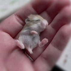 baby guinea pigs | Baby guinea pig