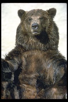 State Animal: The California grizzly bear (Ursus californicus) was designated official State Animal in 1953. Before dying out in California, this largest and most powerful of carnivores thrived in the great valleys and low mountains of the state, probably in greater numbers than anywhere else in the United States.