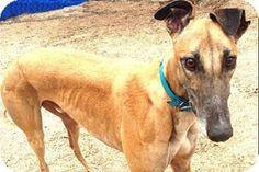 Pearl River, LA - Greyhound. Meet Story, a dog for adoption. http://www.adoptapet.com/pet/11283655-pearl-river-louisiana-greyhound
