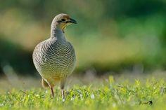 Quail, Birds, Community, Twitter, Nature, Animals, Naturaleza, Animales, Animaux