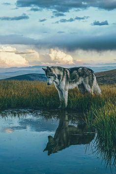 I like this picture because it shows the cool shadow of the wolf in the water. Fun fact: wolf is one of my favorite animals. Nature Animals, Animals And Pets, Funny Animals, Cute Animals, Forest Animals, Wild Animals, Unique Animals, Beautiful Creatures, Animals Beautiful