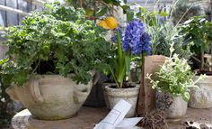 """"""" #FrischeDuefteAufDemBalkon · #verspielt """"  #Geranien pelargonium #Zitronenbaeumchen citrus limon #Hyazinthe hyacinthus orientalis #Lavendel lavandula angustifolia #Maigloeckchen convallaria majalis #Minze mentha spicata ( #SueddeutscheZeitungMagazin 13/2o11 #StilLeben """" Vom #Flakon zum #Balkon """" #AndyTauer #Zuerich ) #Gardening [ #shoellerulrichm ]"""