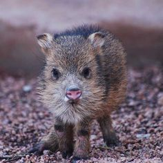 Baby Javelina.... Not sure what it is but I want one!