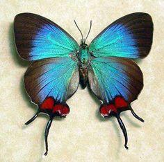 Coronara Hairstreak butterfly