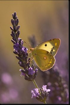 Colias croceus. Pretty butterfly on lavender