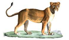#Lionne de Barbarie aussi appelé lionne de l'Atlas. Cette espèce de #lion, #lionne n'existe plus à l'état sauvage. Auparavant elle peuplait toute l'Afrique du Nord. A l'époque Antique les romais chassaient souvent des grands #fauves sur ce territoire pour les venationes (#chasse) des #jeux de l'amphithéâtre #numelyo #bestiaire Panther, Female Lion, Natural History, Big Cats, Hunting, Africa, Gaming, Animaux, Panthers