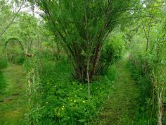 Willow and birch grow together in the permaculture forest garden at Bealtane Cot. Willow and birch Forest Garden, Woodland Garden, All Nature, Growing Plants, Beautiful World, Container Gardening, Shrubs, Outdoor Gardens, Permaculture