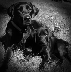 Mother and Daughter * Black Labs * Dixie and Moxie