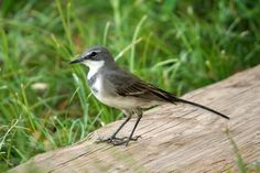 Wagtail -  Favourite bird.