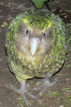 This bird is endangered because it only comes out at night and doesn't fly -the kakapo