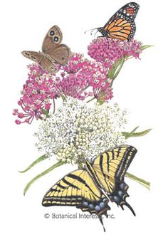 Perennial. Butterflies and hummingbirds will flock to your garden to feast on the sweet nectar of this easy-to-grow native perennial. Often called Swamp Milkweed, this species grows best in moist or wet soils such as near a pond or stream, but the loosely-clumped plants will grow well in a garden with regular watering. Decorative pods are beautiful in dried arrangements.