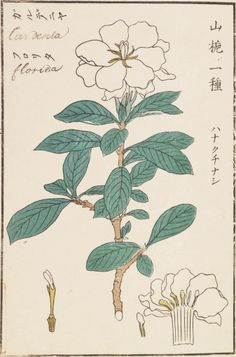 "I am showing Keiga Kawahara drawing in series. Today I show you his great ""botanical art""& pieces. Title:tree mallow 学名/Scientific name:Malva. Vintage Botanical Prints, Botanical Drawings, Botanical Art, Botanical Illustration, Gardenia Tattoo, Japanese Art Styles, Garden Drawing, John James Audubon, Plant Pictures"