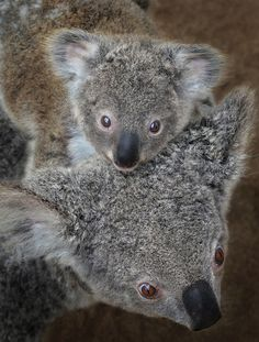 Hitching a ride to Koalafornia   Cambee, a koala at the San Diego Zoo, gives her joey a lift on a recent morning. (pic by Ion Moe)