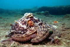 An octopus, much like a chameleon, has the ability to change its skin color. Common belief has long stood that an octopus will change its color in relation Octopus Facts, Octopus Squid, Plural Of Octopus, Octopus Species, Octopus Pictures, Giant Tortoise, Cuttlefish, Sea Fish, Sea World