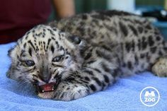 First snow leopard to be born within the last decade to help the endangered animal make a comeback.