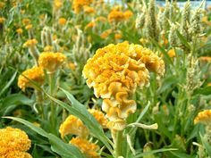 cockscomb - Celosia cristata at The Flower Expert.  good info on this site.