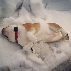 Joey ~ enjoying a roll in the snow