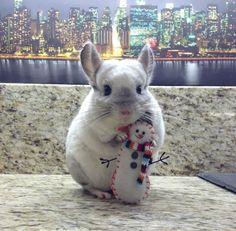 chinchilla & little snowman. Chinchillas, Hamsters, Rodents, Chinchilla Facts, Chinchilla Cute, Cute Funny Animals, Cute Baby Animals, Animals And Pets, Cute Mouse
