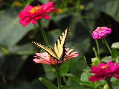 Swallowtail butterfly, a good reason to plant zinnias