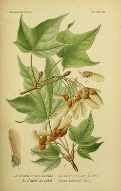 Acer cappadocicum Gled. [as Acer lobelii Ten.] -- Mouillefert, P., Traité des arbres et arbrissaux, Atlas, t. 14, fig. B (1892-1898)