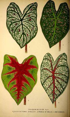 204219 Caladium bicolor (Aiton) Vent. var. hort. / La Belgique horticole, journal des jardins et des vergers, vol. 20: p. 297, t. 17 (1870)