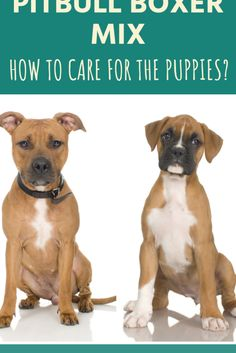 Your Pitbull Boxer mix puppies are not likely to be an exact split of a Boxer and Pitbull. They are probably going to lean more heavily in the direction of one or the other. Read our breed guide to find out what to expect.  #pitbullboxermixpuppies #pitbullboxermix #pitbullboxermixpuppy Pitbull Boxer Mix Puppies, Mixed Breed Puppies, Brindle Boxer, Beagle Dog, Boxer Dogs, Reptiles, Puppy Mix, Dog Mixes, Bull Terrier Dog