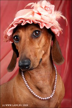 Mini Pearl of the Doxie world - Luv this little grandma dog! Dachshund girls look naturally gorgeous in pearls.